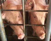 Human-Pig Chimera